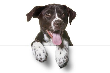 Leuk Puppy Met Poten Over Wit Teken. Catahoula Lab Mix Dog