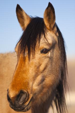 nevada: Wild Mustang Horse in the Nevada desert.