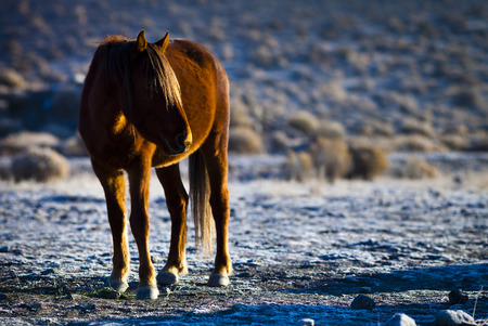 mustang horse: Wild Mustang Horse in the Nevada desert.
