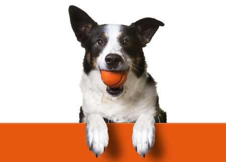 Dog with paws over orange sign, holding orange banner. Border Collie/ Terrier Mix