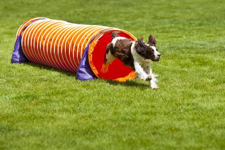 Agility-Hund läuft aus der Röhre.