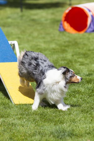 totter: Agility Dog running off of see saw teeter totter