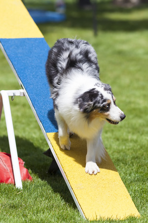 teeter: Agility Dog on See-Saw or Teeter Totter