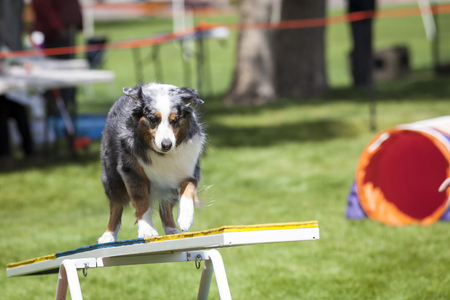 teeter: Agility Dog crossing Teeter Totter See Saw