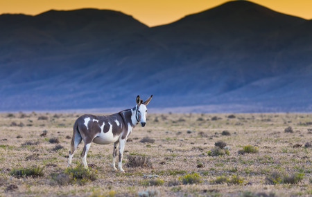 jack ass: Donkey in the Nevada desert at sunset