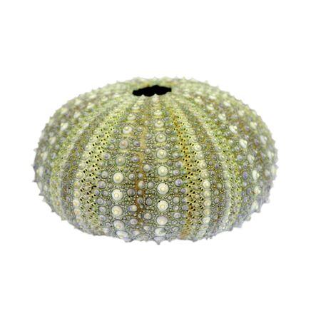 Sea Urchin Cutout