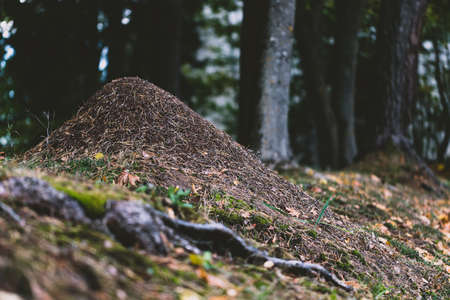 brown anthill in forest made of leaves and pin needles Stock Photo