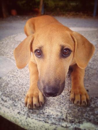 eye: Close up Thai dog