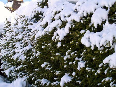 snowed fir tree background photo