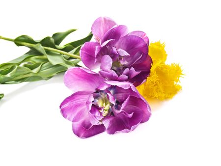 fringes: beautiful colorful yellow and purple tulips bouquet isolated Stock Photo