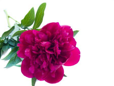 magenta flowers: peony flowers isolated