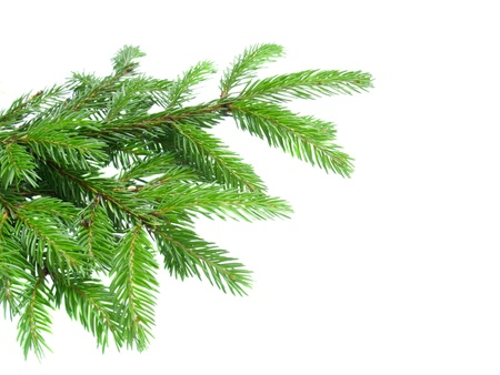 botanical branch: fir tree paw isolated on white
