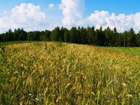 harvesting field of rye photo