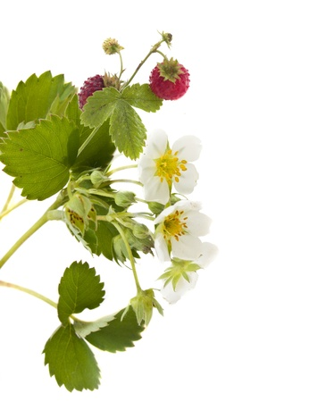 stem of wild strawberry with flowers and berries isolated over white Stock Photo