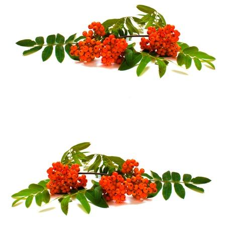 rowan: frame of rowan branch