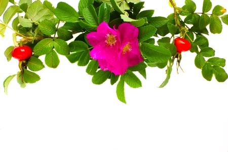 briar: wild roses border