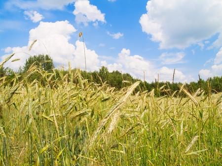 summer field of rye photo