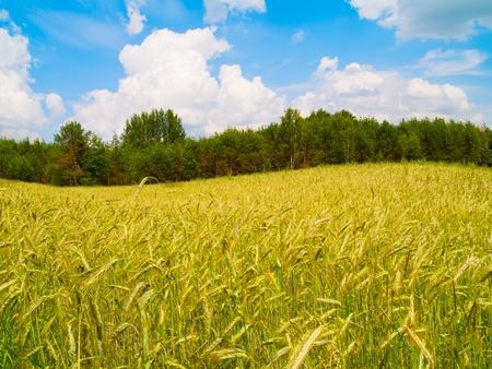 beautiful landscape of harvesting field of rye photo