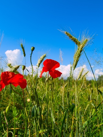beautiful landscape of  field of wheat and poppy flowers photo