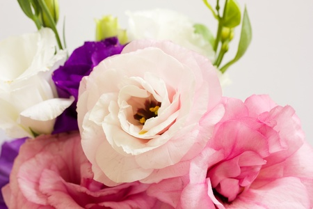 pale colour: Banch of eustoma flowers isolated on white background Stock Photo