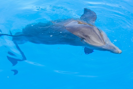 cetacean: bottle nosed dolphin swimming in blue water