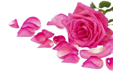 granica różowa róża z płatkami na białym tle