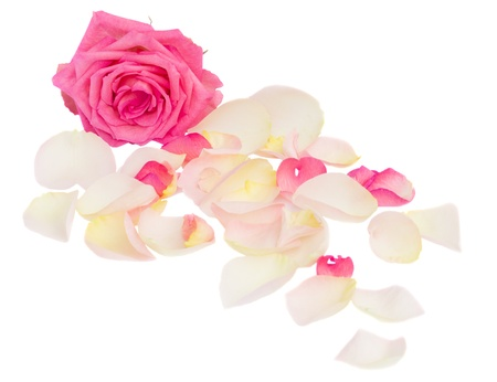 groups of objects: pink rose with petals isolated on white background
