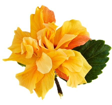 yellow hibiscus flower isolated on white background photo