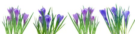 border of  spring crocuses flowers isolated on white photo