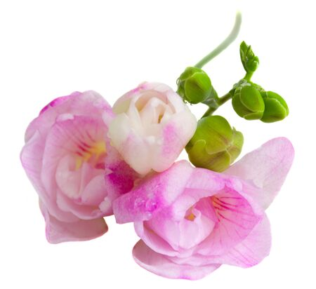 pink  freesia flowers isolated on white background photo