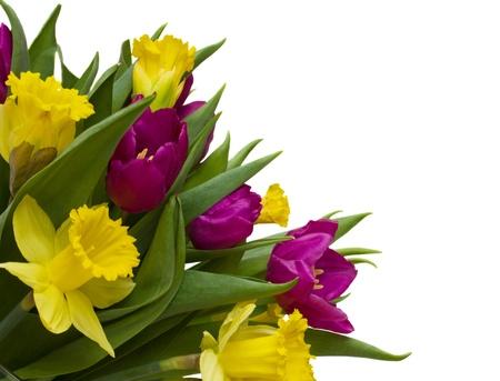 チューリップおよびラッパスイセンの白い背景で隔離の花束