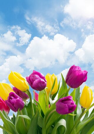 growing yellow and purple  tulips on coudy sky Stock Photo - 13128727