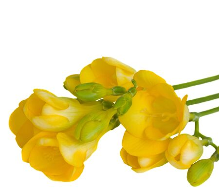 yellow freesia flowers isolated on white background photo