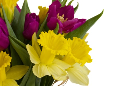bosom: bouquet of tulips and daffodils  isolated on white background