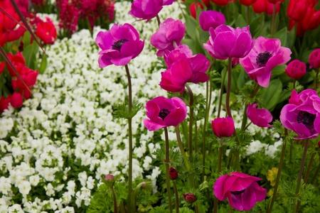 colorful flowerbed of anemones in Keukenhof garden, Holland Stock Photo - 13588979