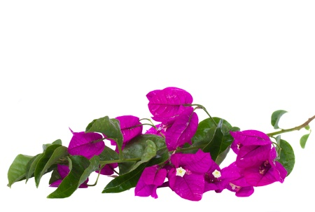 bougainvillea violet flowers brunch  isolated on white background photo