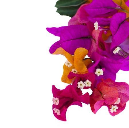 bougainvillea flowers: bougainvillea multicolored flowers isolatedon white background, close up Stock Photo