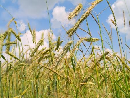 secale: beautiful landscape of harvesting field of rye Stock Photo