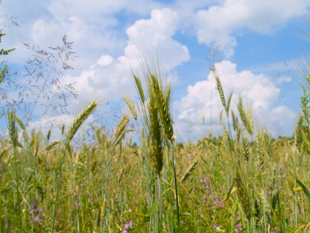 beautiful landscape of harvesting field of wheat photo