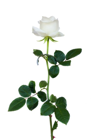 white rose: one white rose isolated on white background Stock Photo