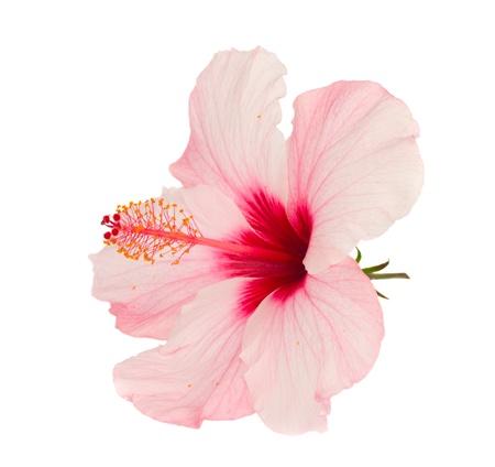 hibiscus: flor rosada del hibisco aislada en el fondo blanco