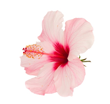 ibiscus: rosa, fiore di ibisco isolato su sfondo bianco Archivio Fotografico
