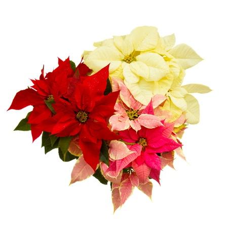 flor de pascua: Poinsettia flor estrella de la Navidad aislado en un fondo blanco