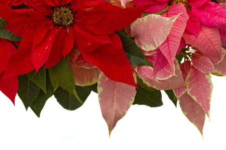 Poinsettia flower  christmas star  border isolated on a white background  photo