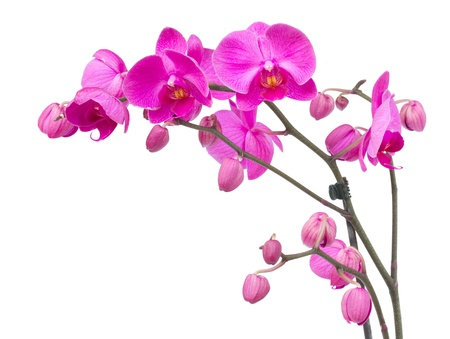 orchid branch  with violet flowers isolated on white background 스톡 콘텐츠