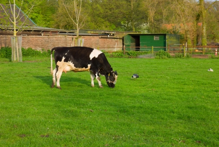 black and white cow eating grass on pasture photo