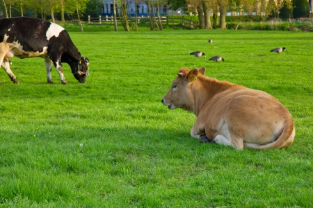 Holland cow resting on green grass lawn photo