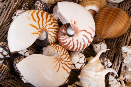 mollusca: choise of nautilius shells laying  in basket