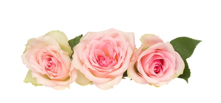 흰색 배경에 고립 된 세 핑크 장미
