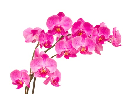 violet  orchids on branch isolated on white background photo